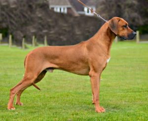 main stud ridgebacks index cubi luanda from dogs dog rhodesian